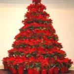 Poinsettia_Tree