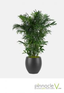 Chamaedorea Erumpens (Bamboo Palm)