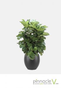 Ficus Lyrata (column)