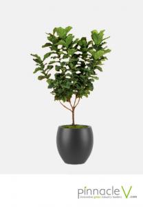 Ficus Lyrata (standard tree)