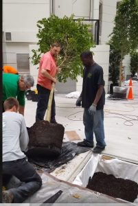 Live installation of the (8), 14 feet tall Ficus Wintergreen in the Embassy Suites by Hilton Renovated Atrium